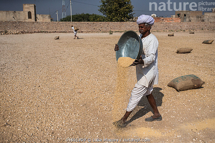 Man pouring out food for Demoiselle cranes (Grus virgo), Khichan, India, Animal,Wildlife,Vertebrate,Bird,Birds,Crane,Demoiselle Crane,Animalia,Animal,Wildlife,Vertebrate,Aves,Bird,Birds,Gruiformes,Gruidae,Crane,Grus,Asia,Indian Subcontinent,India,Feeding,Rajasthan,Grus virgo,Demoiselle Crane,Anthropoides virgo,, Luke Massey
