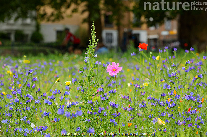 Wildflower meadow, full of native and non-native, annual and perennial wild flowers planted in an urban park, London Fields, Hackney, London UK July (This image may be licensed either as rights managed or royalty free.)  ,  urban,park,people,environment,council,local,,,Europe,Western Europe,UK,Great Britain,England,London,Greater London,Horizontal,Plant,Wildflower,Wildflowers,Flower,Park,Parks,City,Building,Summer,Grassland,Meadow,Mixed species,,RF, royalty free, RF3,,RF3,,RF,  ,  Terry  Whittaker