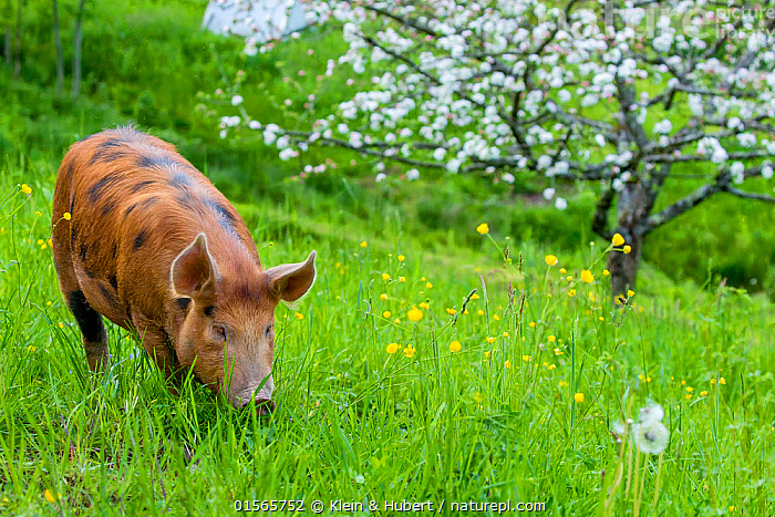 Nature Picture Library Domestic Tamworth Pig X Berkshire