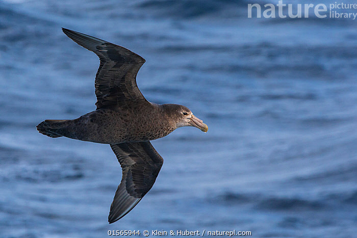 Southern giant petrel (Macronectes giganteus) in flight over ocean, South Georgia  ,  Animal,Wildlife,Vertebrate,Bird,Birds,Tubenose,Giant petrel,Animalia,Animal,Wildlife,Vertebrate,Aves,Bird,Birds,Procellariiformes,Tubenose,Tubinare,Seabird,Procellariidae,Macronectes,Giant petrel,Macronectes giganteus,Southern giant petrel,Antarctic giant petrel,Giant fulmar,Flying,Antarctica,Antarctic,Polar,Subantarctic islands,South Georgia Island,Seabird,Seabirds,Marine bird,Marine birds,Pelagic bird,Pelagic birds  ,  Klein & Hubert