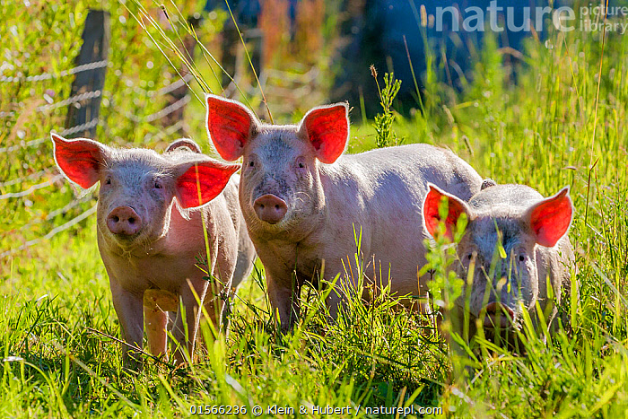 Large white x Pietrain young pigs foraging in a meadow in summer,  France, Cute,Adorable,Organic,Group,Animal,Livestock,Domestic animal,Domestic Pig,Domesticated,Sus scrofa domestica,Crossbreed,Free Range,Mammal,, Klein & Hubert