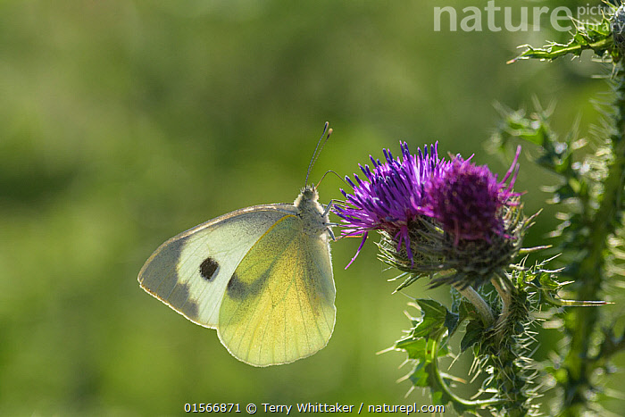 Small white butterfly (Pieris rapae) on thistle.  Kent, UK. July  ,  Animal,Arthropod,Insect,Butterfly,White,Small white,Animalia,Animal,Wildlife,Hexapoda,Arthropod,Invertebrate,Hexapod,Arthropoda,Insecta,Insect,Lepidoptera,Lepidopterans,Pieridae,Butterfly,Papilionoidea,Pieris,White,Garden white,Pieris rapae,Small white,Small cabbage white,White butterfly,Small cabbage butterfly,Papilio rapae,Europe,Western Europe,UK,Great Britain,England,Kent,Plant,Flower,  ,  Terry  Whittaker