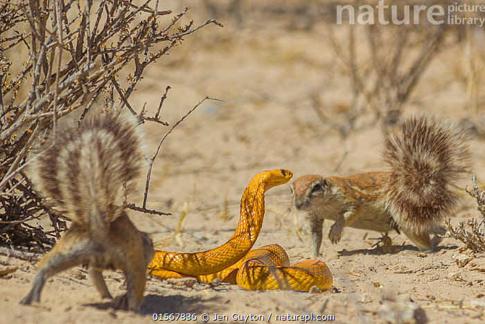 Cape ground squirrels (Xerus inauris) mobbing a Cape cobra (Naja nivea) that had come too close to their burrow in the Kalahari Desert, South Africa.  ,  catalogue10,,Animal,Wildlife,Vertebrate,Reptile,Squamate,Elapid,Cobra,Cape cobra,Mammal,Rodent,African ground squirrel,Cape ground squirrel,Animalia,Animal,Wildlife,Vertebrate,Reptilia,Reptile,Squamata,Squamate,Elapidae,Elapid,Snake,Naja,Cobra,Naja nivea,Cape cobra,Naja flava,Naja intermixta,Coluber niveus,Mammalia,Mammal,Rodentia,Rodent,Sciuridae,Xerus,African ground squirrel,Xerus inauris,Cape ground squirrel,South African ground squirrel,Xerus africanus,Xerus capensis,Xerus dschinshicus,Xerus ginginianus,Xerus levaillantii,Xerus namaquensis,Xerus setosus,Geosciurus inauris,Courage,Brave,Bravery,Daring,Danger,Africa,Southern Africa,South Africa,Desert,Kalahari Desert,Animal Behaviour,Defensive,Mixed species,Behaviour,Mobbing,Mobs,Mob,South African,Defense,Defence,Defending,Behavioural,Venomous  ,  Jen Guyton