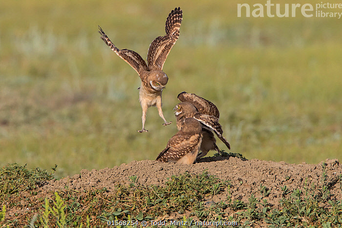 Burrowing owl (Athene cunicularia) juveniles play fighting,Grasslands National Park, Val Marie, Saskatchewan, Canada. June  ,  Animal,Wildlife,Vertebrate,Bird,Birds,Owl,Burrowing owl,Animalia,Animal,Wildlife,Vertebrate,Aves,Bird,Birds,Strigiformes,Owl,Bird of prey,Strigidae,Striginae,Athene,Athene cunicularia,Burrowing owl,Flying,North America,Canada,Saskatchewan,Grassland,Prairie,Reserve,Protected area,National Park,  ,  Todd  Mintz