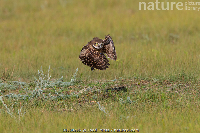 Burrowing owl (Athene cunicularia) young owlet testing its wings by jumping and flapping its wings to build strength.Grasslands National Park, Val Marie, Saskatchewan, Canada. June  ,  Animal,Wildlife,Vertebrate,Bird,Birds,Owl,Burrowing owl,Animalia,Animal,Wildlife,Vertebrate,Aves,Bird,Birds,Strigiformes,Owl,Bird of prey,Strigidae,Striginae,Athene,Athene cunicularia,Burrowing owl,Flying,North America,Canada,Saskatchewan,Grassland,Prairie,Reserve,Protected area,National Park,  ,  Todd  Mintz