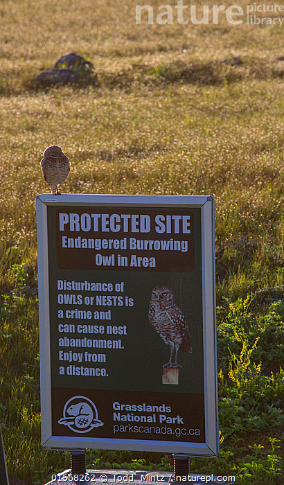 Burrowing owl (Athene cunicularia) on sign warning visitors about burrowing owl nest site in the area. Grasslands National Park, Val Marie, Saskatchewan, Canada.  ,  Animal,Wildlife,Vertebrate,Bird,Birds,Owl,Burrowing owl,Animalia,Animal,Wildlife,Vertebrate,Aves,Bird,Birds,Strigiformes,Owl,Bird of prey,Strigidae,Striginae,Athene,Athene cunicularia,Burrowing owl,North America,Canada,Saskatchewan,Information,Grassland,Prairie,Reserve,Protected area,National Park,  ,  Todd  Mintz