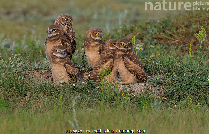 Burrowing owl (Athene cunicularia) chicks on the ground. Grasslands National Park, Val Marie, Saskatchewan, Canada. June  ,  Animal,Wildlife,Vertebrate,Bird,Birds,Owl,Burrowing owl,Animalia,Animal,Wildlife,Vertebrate,Aves,Bird,Birds,Strigiformes,Owl,Bird of prey,Strigidae,Striginae,Athene,Athene cunicularia,Burrowing owl,North America,Canada,Saskatchewan,Young Animal,Juvenile,Babies,Chick,Grassland,Prairie,Reserve,Protected area,National Park,  ,  Todd  Mintz