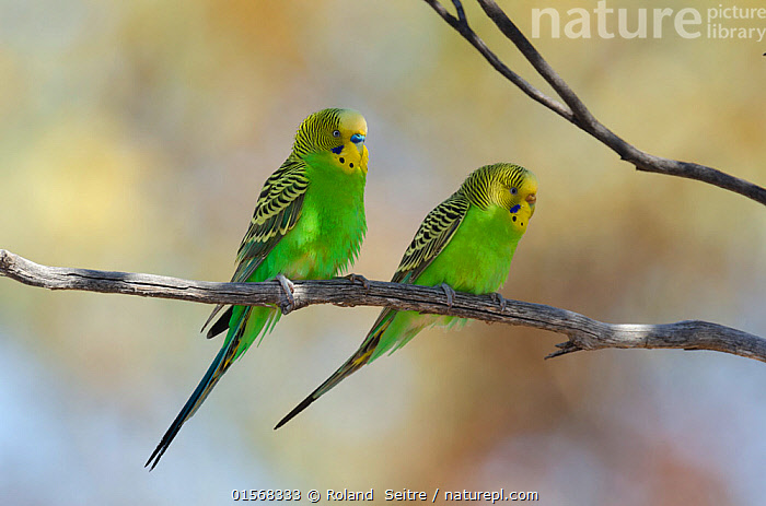 Budgerigar (Melopsittacus undulatus) ?male (left) and female (right) Connie Sue Highway, Western Australia., Animal,Wildlife,Vertebrate,Bird,Birds,Parrot,True parrot,Budgerigar,Animalia,Animal,Wildlife,Vertebrate,Aves,Bird,Birds,Psittaciformes,Parrot,Psittacines,Psittaculidae,True parrot,Psittacoidea,Melopsittacus,Budgerigar,Lory,Lorikeet,Melopsittacini,Loriinae,Melopsittacus undulatus,Two,Australasia,Australia,Western Australia,Male female pair,Sexual dimorphism,, Roland  Seitre