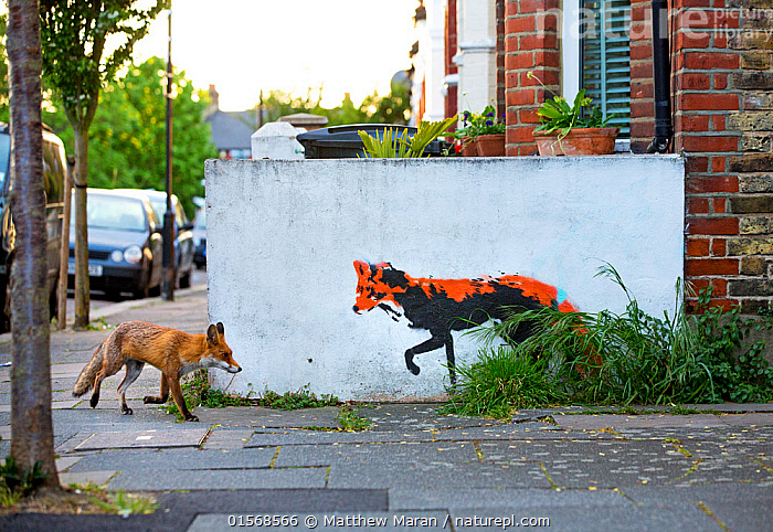 Urban Red fox (Vulpes vulpes) walking past wall with  red fox mural / graffiti . North London, England, UK, April., Animal,Wildlife,Vertebrate,Mammal,Carnivore,Canid,True fox,Red fox,Animalia,Animal,Wildlife,Vertebrate,Mammalia,Mammal,Carnivora,Carnivore,Canidae,Canid,Vulpes,True fox,Vulpini,Caninae,Vulpes vulpes,Red fox,Europe,Western Europe,UK,Great Britain,England,London,Greater London,Art,Paintings,Picture,Mural,Murals,Wall Painting,Wall Paintings,Graffiti,City,Animals in art,Animals-in-art,, Matthew Maran