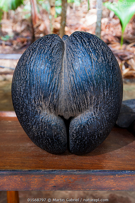 Image result for the seed of the Lodoicea Maldivica (double coconut), is found in Seychelles.