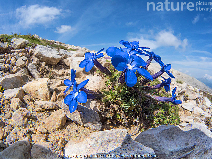 Triglav gentian (Gentiana terglouensis)  Passo di Falzarego, near Cortina, Dolomites, Veneto, Italy. July.  ,  catalogue10,,Plant,Vascular plant,Flowering plant,Asterid,Gentian,Spring gentian,Plantae,Plant,Tracheophyta,Vascular plant,Magnoliopsida,Flowering plant,Angiosperm,Seed plant,Spermatophyte,Spermatophytina,Angiospermae,Gentianales,Asterid,Dicot,Dicotyledon,Asteranae,Gentianaceae,Gentian,Gentiana,Spring gentian,Calathiana verna,Ericala angulosa,Ericala verna,Colour,Blue,Europe,Southern Europe,Italy,Veneto,Close Up,Flower,Mountain,Alpine,Sky,Landscape,Dolomite mountains,Dolomites,Gentiana terglouensis,  ,  Paul  Harcourt Davies