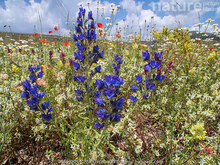 Viper's bugloss (Echium vulgare) growing with Stachys sp, Melampyrum and others near Campo Imperatore, Abruzzo, Italy June 2016  ,  Plant,Vascular plant,Flowering plant,Asterid,Borage,Viper's bugloss,Common viper's bugloss,Plantae,Plant,Tracheophyta,Vascular plant,Magnoliopsida,Flowering plant,Angiosperm,Seed plant,Spermatophyte,Spermatophytina,Angiospermae,Boraginales,Asterid,Dicot,Dicotyledon,Asteranae,Boraginaceae,Borage,Echium,Viper's bugloss,Vipersbugloss,Echium vulgare,Common viper's bugloss,Blueweed,Common vipersbugloss,Common echium,Echium wierzbickii,Echium tenoreanum,Colour,Purple,Europe,Southern Europe,Italy,Abruzzo,Flower,Arable weed,  ,  Paul  Harcourt Davies