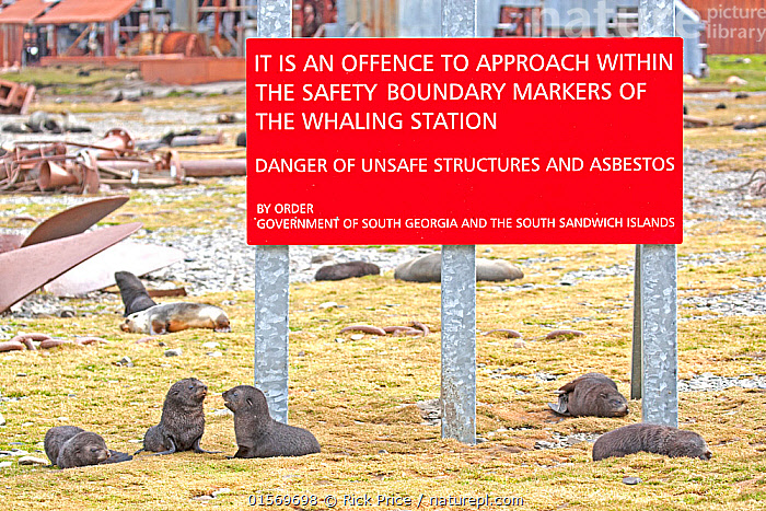 Antarctic Fur Seal (Arctocephalus gazella) pups near a sign warning people to keep out of the abandoned Stromness Whaling Station, South Georgia. January.  ,  Animal,Wildlife,Vertebrate,Mammal,Carnivore,Eared seal,Fur seal,Antarctic Fur Seal,Animalia,Animal,Wildlife,Vertebrate,Mammalia,Mammal,Carnivora,Carnivore,Otaridae,Eared seal,Otary,Otarid,Pinniped,Pinnipedia,Arctocephalus,Fur seal,Arctocephalus gazella,Antarctic Fur Seal,Kerguelen Fur Seal,Abandoned,Young Animal,Juvenile,Babies,Baby Mammal,Pup,Pups,Information,Construction Material,Asbestos,Subantarctic islands,South Georgia Island,Marine  ,  Rick Price