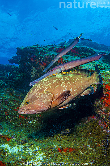 Nature Picture Library - A pair of Atlantic trumpetfish (Aulostomus