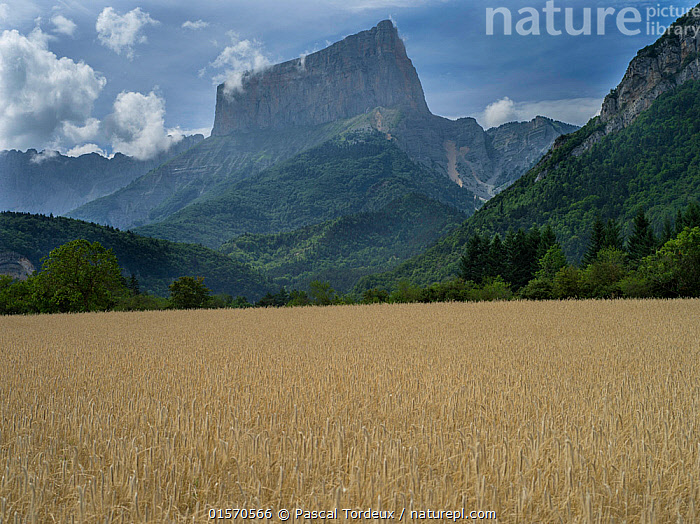 Field of barley with Mont Aiguille in background, Vercors Plateau, France., Vercors,,Plant,Vascular plant,Flowering plant,Monocot,Grass,Barley,Plantae,Plant,Tracheophyta,Vascular plant,Magnoliopsida,Flowering plant,Angiosperm,Seed plant,Spermatophyte,Spermatophytina,Angiospermae,Poales,Monocot,Monocotyledon,Lilianae,Poaceae,Grass,True grass,Gramineae,Hordeum,Barley,Hordeum vulgare,Cereal barley,Common barley,Two rowed barley,Europe,Western Europe,France,Crops,Produce,Cultivated,Cultivated Land,Cliff,Mountain,Landscape,Farmland,Plateau,, Pascal  Tordeux