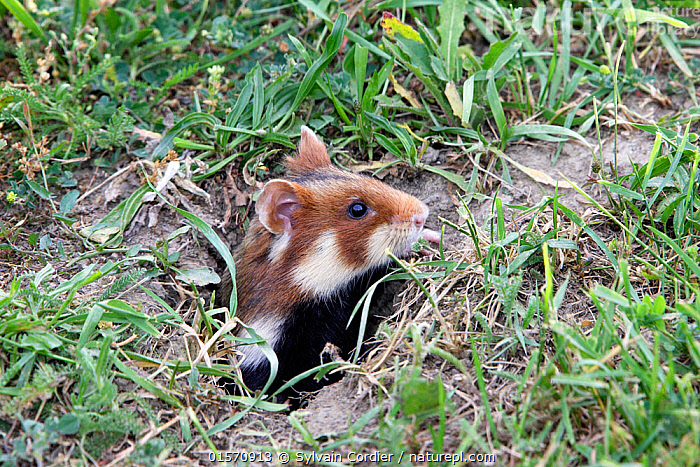 Common hamster (Cricetus cricetus), coming out from the burrow, Alsace, France, June.  ,  Animal,Wildlife,Vertebrate,Mammal,Rodent,Hamster,Black-bellied Hamster,Animalia,Animal,Wildlife,Vertebrate,Mammalia,Mammal,Rodentia,Rodent,Cricetidae,Cricetus,Hamster,Cricetus cricetus,Black-bellied Hamster,Common Hamster,Cricetus albus,Cricetus babylonicus,Cricetus canescens,Europe,Western Europe,France,Alsace,Burrow,Burrows,  ,  Sylvain Cordier