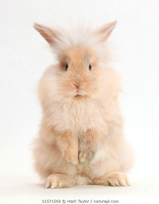 Nature Picture Library Beige Rabbit Standing On Hind Legs Mark