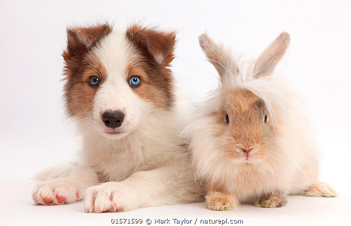 Sable-and-white Border Collie puppy,  age 8 weeks, with fluffy rabbit. NOT AVAILABLE FOR BOOK USE, Canis familiaris,Oryctolagus cuniculus,Friendship,Cutout,Plain Background,White Background,Animal,Young Animal,Baby,Baby Mammal,Puppy,Domestic animal,Pet,Mixed species,Domestic Dog,Pastoral Dog,Medium dog,Border Collie,Collie,Domestic Rabbit,Domesticated,Canis familiaris,Oryctolagus cuniculus,Unlikely friends,Unusual friends,Bunny,Dog,Mammal,, Mark Taylor