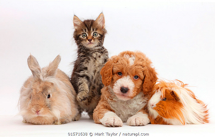 Tabby kitten, Goldendoodle puppy, rabbit, and Guinea pig. NOT AVAILABLE FOR BOOK USE, Felis catus,Canis familiaris,Cavia porcellus,Oryctolagus cuniculus,Cross breed,Friendship,Few,Four,Group,Cutout,Plain Background,White Background,Animal,Young Animal,Baby,Baby Mammal,Puppy,Kitten,Kittens,Crossbreed,Domestic animal,Pet,Mixed species,Domestic Guinea Pig,Domestic Dog,Domestic Cat,Domestic Rabbit,Domesticated,Designer breeds,Poodle cross,Goldendoodle,Felis catus,Canis familiaris,Cavia porcellus,Oryctolagus cuniculus,Unlikely friends,Unusual friends,Bunny,Cat,Dog,Guinea Pig,Tabby,Cross breed,Mammal,, Mark Taylor