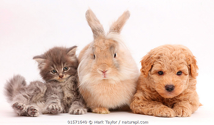 Grey kitten, Goldendoodle puppy and rabbit. NOT AVAILABLE FOR BOOK USE, Felis catus,Canis familiaris,Oryctolagus cuniculus,Cross breed,Cute,Adorable,Friendship,Cutout,Plain Background,White Background,Animal,Young Animal,Baby,Baby Mammal,Puppy,Kitten,Kittens,Crossbreed,Livestock,Domestic animal,Pet,Mixed species,Domestic Dog,Domestic Cat,Domestic Rabbit,Domesticated,Designer breeds,Poodle cross,Goldendoodle,Felis catus,Canis familiaris,Oryctolagus cuniculus,Unlikely friends,Unusual friends,Bunny,Cat,Dog,Tabby,Cross breed,Rabbit,Domestic rabbit,Rabbit farming,Mammal,, Mark Taylor