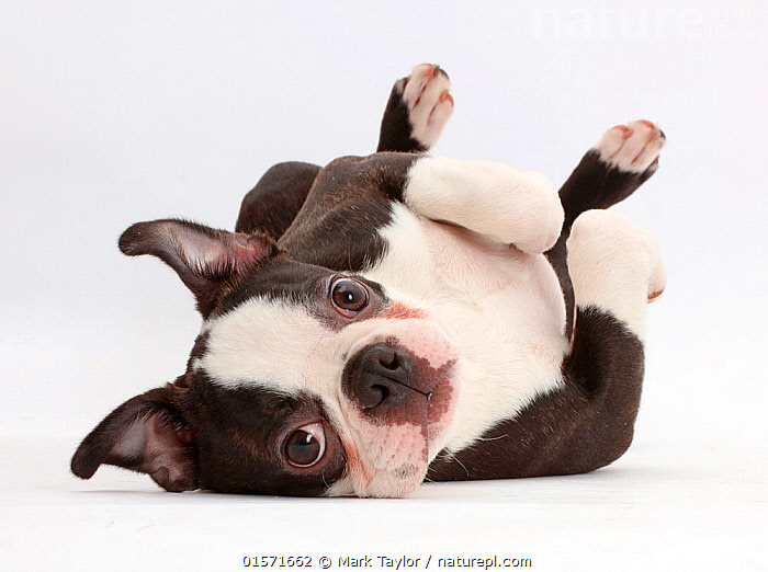 Boston Terrier, age 5 months, lying on his back., Canis familiaris,Cutout,Plain Background,White Background,Portrait,Animal,Young Animal,Baby,Baby Mammal,Puppy,Animal Behaviour,Playing,Domestic animal,Pet,Domestic Dog,Utility Dog,Small dog,Boston Terrier,Domesticated,Canis familiaris,Dog,Mammal,, Mark Taylor
