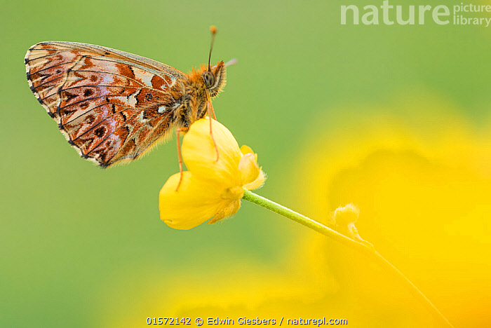 RF - Titania's fritillary butterfly (Boloria titania) on buttercup, Aosta Valley, Gran Paradiso National Park, Italy. (This image may be licensed either as rights managed or royalty free.)  ,  Animal,Wildlife,Arthropod,Insect,Brushfooted butterfly,Passion vine butterfly,Clossiana titania,Titania's Fritillary,Animalia,Animal,Wildlife,Hexapoda,Arthropod,Invertebrate,Hexapod,Arthropoda,Insecta,Insect,Lepidoptera,Lepidopterans,Nymphalidae,Brushfooted butterfly,Fourfooted butterfly,Nymphalid,Butterfly,Papilionoidea,Boloria,Passion vine butterfly,Longwing,Heliconian,Heliconninae,Heliconiini,Colour,Yellow,Europe,Southern Europe,Italy,Copy Space,Plant,Flower,Negative space,Gran Paradiso National Park,Boloria titania,Clossiana titania,Titania's Fritillary,,,RFCAT1,RF,Royalty free,RF17Q3,,RF3,,RF3,,RF,  ,  Edwin Giesbers