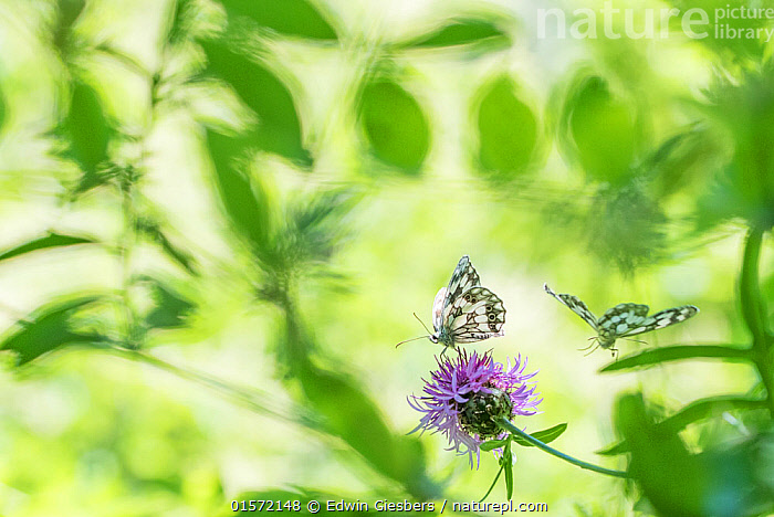 RF - Marbled white butterfly (Melanargia galathea) on knapweed, with soft focus leaves, Aosta Valley, Gran Paradiso National Park, Italy. (This image may be licensed either as rights managed or royalty free.)  ,  Animal,Wildlife,Arthropod,Insect,Brushfooted butterfly,Marbled white,Animalia,Animal,Wildlife,Hexapoda,Arthropod,Invertebrate,Hexapod,Arthropoda,Insecta,Insect,Lepidoptera,Lepidopterans,Nymphalidae,Brushfooted butterfly,Fourfooted butterfly,Nymphalid,Butterfly,Papilionoidea,Melanargia,Marbled white,Satyrine,Satyrid,Brown,Satyrinae,Melanargia galathea,Papilio galathea,Europe,Southern Europe,Italy,Camera Focus,Selective Focus,Plant,Flower,Arty shots,Shallow depth of field,Low depth of field,Gran Paradiso National Park,Delicate,,,RFCAT1,RF,Royalty free,RF17Q3,,RF3,,RF3,,RF,  ,  Edwin Giesbers