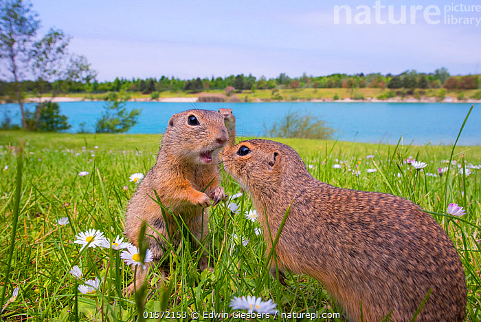 RF - European ground squirrels / Sousliks (Spermophilus citellus)greeting, Gerasdorf, Austria. April. (This image may be licensed either as rights managed or royalty free.), Animal,Wildlife,Vertebrate,Mammal,Rodent,Ground squirrel,European Ground Squirrel,Animalia,Animal,Wildlife,Vertebrate,Mammalia,Mammal,Rodentia,Rodent,Sciuridae,Spermophilus,Ground squirrel,Spermophilus citellus,European Ground Squirrel,European Souslik,European Squirrel,Friendship,Two,Europe,Western Europe,Austria,Plant,Flower,Habitat,,,RFCAT1,RF,Royalty free,RF17Q3,,RF3,,RF3,,RF,, Edwin Giesbers
