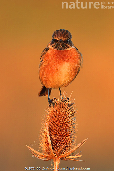 Stonechat (Saxicola rubocola) male in winter plumage on teasel, UK., catalogue10,,Animal,Wildlife,Vertebrate,Bird,Birds,Songbird,Old world flycatcher,Chat,Stonechat,Animalia,Animal,Wildlife,Vertebrate,Aves,Bird,Birds,Passeriformes,Songbird,Passerine,Muscicapidae,Old world flycatcher,Flycatcher,Saxicola,Chat,Chat thrush,Saxicolinae,Saxicola rubicola,Stonechat,Common stonechat,Collared bush chat,Saxicola torquata,Europe,Western Europe,UK,Copy Space,Front View,Portrait,Male Animal,Plant,Teasel Order,Teasel Family,Teasel,Teasels,Winter,Negative space,, Andy Rouse