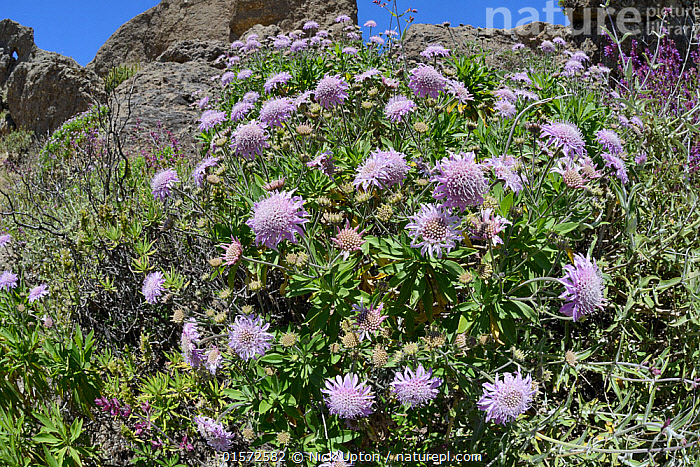 Mountain scabious (Pterocephalus dumetorum) a Canaries endemic, flowering among volcanic rocks, Gran Canaria, May.  ,  Plant,Vascular plant,Flowering plant,Asterid,Honeysuckle,Plantae,Plant,Tracheophyta,Vascular plant,Magnoliopsida,Flowering plant,Angiosperm,Seed plant,Spermatophyte,Spermatophytina,Angiospermae,Dipsacales,Asterid,Dicot,Dicotyledon,Asteranae,Caprifoliaceae,Honeysuckle,Flower,Reserve,Atlantic Islands,Endemic,Protected area,UNESCO World Heritage Site,UNESCO,Heritage Site,World Heritage site,Biosphere Reserve,Pterocephalus,Pterocephalus dumetorum,  ,  Nick Upton