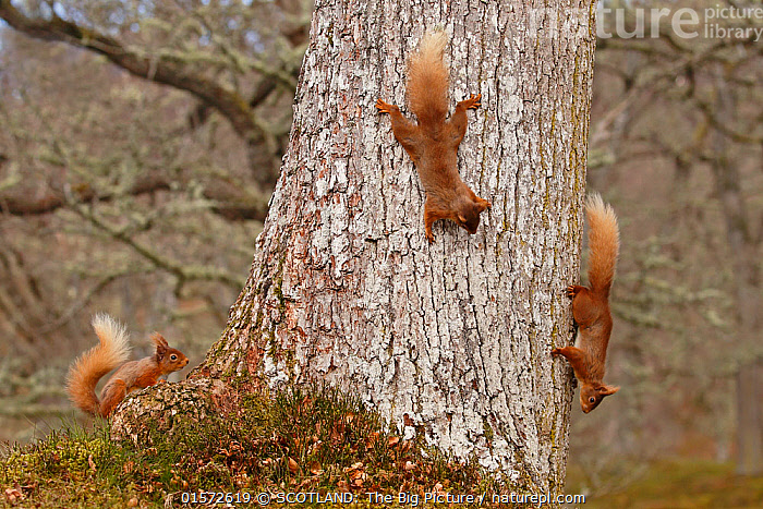 Red squirrels (Sciurus vulgaris) three chasing each other round oak tree, Cairngorms National Park, Highlands, Scotland, UK, April.  ,  Animal,Wildlife,Vertebrate,Mammal,Rodent,Squirrel,Eurasian Red Squirrel,Animalia,Animal,Wildlife,Vertebrate,Mammalia,Mammal,Rodentia,Rodent,Sciuridae,Sciurus,Squirrel,Sciurus vulgaris,Eurasian Red Squirrel,Red Squirrel,Sciurus fuscorubens,Sciurus nadymensis,Sciurus subalpinus,Sciurus talahutky,Europe,Western Europe,UK,Great Britain,Scotland,Highland,Plant,Tree,Reserve,Protected area,Highlands of Scotland,National Park,SCOTLAND: The Big Picture,Neil McIntyre,  ,  SCOTLAND: The Big Picture