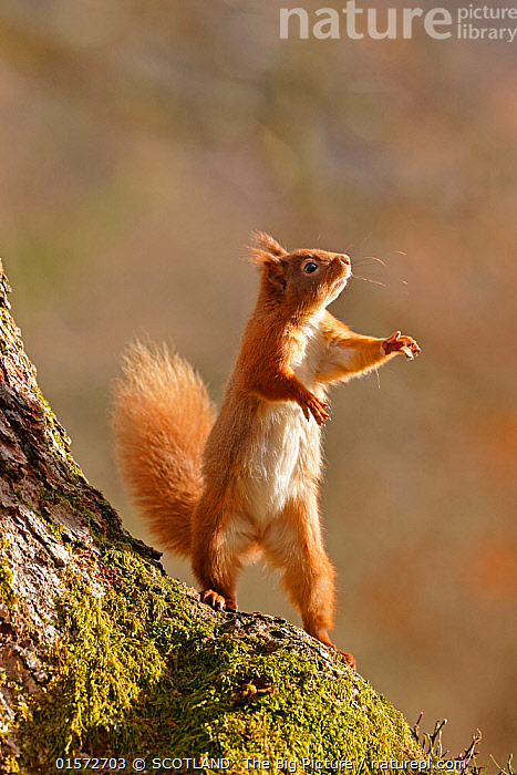 Red Squirrel (Sciurus vulgaris) reaching up and standing on hind legs. Cairngorms National Park, Highlands, Scotland, UK, March., Animal,Wildlife,Vertebrate,Mammal,Rodent,Squirrel,Eurasian Red Squirrel,Animalia,Animal,Wildlife,Vertebrate,Mammalia,Mammal,Rodentia,Rodent,Sciuridae,Sciurus,Squirrel,Sciurus vulgaris,Eurasian Red Squirrel,Red Squirrel,Sciurus fuscorubens,Sciurus nadymensis,Sciurus subalpinus,Sciurus talahutky,Standing,Europe,Western Europe,UK,Great Britain,Scotland,Highland,Animal Legs,Legs,Leg,Hind Leg,Hind Legs,Reserve,Protected area,Highlands of Scotland,National Park,SCOTLAND: The Big Picture,Neil McIntyre,, SCOTLAND: The Big Picture