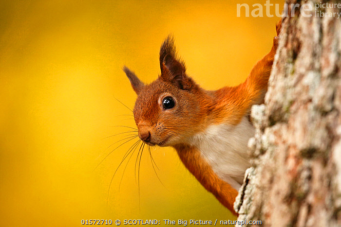 Red squirrel (Sciurus vulgaris) with  autumn colours, Cairngorms National Park, Highlands, Scotland, UK. October., catalogue10,,Animal,Wildlife,Vertebrate,Mammal,Rodent,Squirrel,Eurasian Red Squirrel,Animalia,Animal,Wildlife,Vertebrate,Mammalia,Mammal,Rodentia,Rodent,Sciuridae,Sciurus,Squirrel,Sciurus vulgaris,Eurasian Red Squirrel,Red Squirrel,Alertness,Cute,Adorable,Colour,Europe,Western Europe,UK,Great Britain,Scotland,Highland,Copy Space,Close Up,Portrait,Reserve,Protected area,Highlands of Scotland,National Park,Cairngorms,Whiskers,Negative space,Cairngorms National Park,SCOTLAND: The Big Picture,Neil McIntyre,, SCOTLAND: The Big Picture