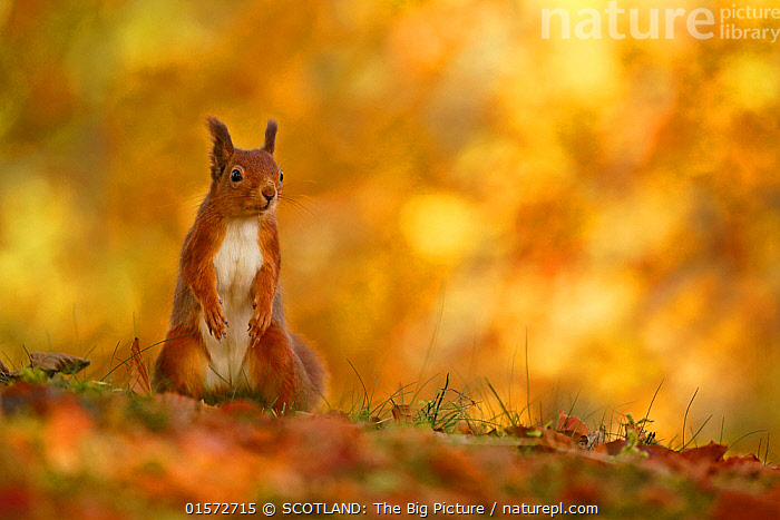 Red squirrel (Sciurus vulgaris) on forest floor with autumn leaves Highlands, Scotland, UK, October., Animal,Wildlife,Vertebrate,Mammal,Rodent,Squirrel,Eurasian Red Squirrel,Animalia,Animal,Wildlife,Vertebrate,Mammalia,Mammal,Rodentia,Rodent,Sciuridae,Sciurus,Squirrel,Sciurus vulgaris,Eurasian Red Squirrel,Red Squirrel,Sciurus fuscorubens,Sciurus nadymensis,Sciurus subalpinus,Sciurus talahutky,Europe,Western Europe,UK,Great Britain,Scotland,Highland,Plant,Leaf,Foliage,Autumn,Reserve,Protected area,Highlands of Scotland,National Park,SCOTLAND: The Big Picture,Neil McIntyre,, SCOTLAND: The Big Picture