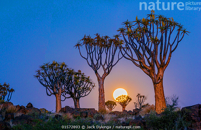 Quiver trees (Aloe dichotoma) with full moon rising, Namib Desert. Namibia.  ,  catalogue10,,Plant,Vascular plant,Flowering plant,Monocot,Quiver tree,Plantae,Plant,Tracheophyta,Vascular plant,Magnoliopsida,Flowering plant,Angiosperm,Seed plant,Spermatophyte,Spermatophytina,Angiospermae,Asparagales,Monocot,Monocotyledon,Lilianae,Xanthorrhoeaceae,Aloe,Aloe dichotoma,Quiver tree,Kokerboom,Rhipidodendrum dichotomum,Dry,Arid,Africa,Southern Africa,Namibia,South-West Africa,Tree,Desert,Moon,Landscape,Night,Dusk,Namibian,Moonrise,  ,  Jack Dykinga