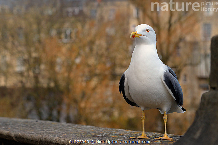 Lesser black-backed gull (Larus fuscus) perched on a wall, Bath, UK, March.  ,  Animal,Wildlife,Vertebrate,Bird,Birds,Gull,Larinae,Lesser black backed gull,Animalia,Animal,Wildlife,Vertebrate,Aves,Bird,Birds,Charadriiformes,Laridae,Gull,Seabird,Larus,Larinae,Larus fuscus,Lesser black backed gull,Europe,Western Europe,UK,Great Britain,England,Somerset,City Of Bath,Bath,Portrait,Seagulls,  ,  Nick Upton