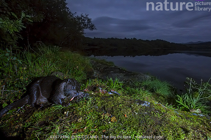Eurasian otter (Lutra lutra) eating fish at night on mossy bank at edge of loch, Scotland, UK, September.  ,  Animal,Wildlife,Vertebrate,Mammal,Carnivore,Mustelid,River otter,Common Otter,Animalia,Animal,Wildlife,Vertebrate,Mammalia,Mammal,Carnivora,Carnivore,Mustelidae,Mustelid,Lutra,River otter,Lutra lutra,Common Otter,Eurasian Otter,European Otter,European River Otter,Old World Otter,Lying down,Dark,Europe,Western Europe,UK,Great Britain,Scotland,Profile,Side View,Night,Woodland,Freshwater,Lake,Water,Feeding,Forest,Loch,SCOTLAND: The Big Picture,Bank,Phillip Price,  ,  SCOTLAND: The Big Picture