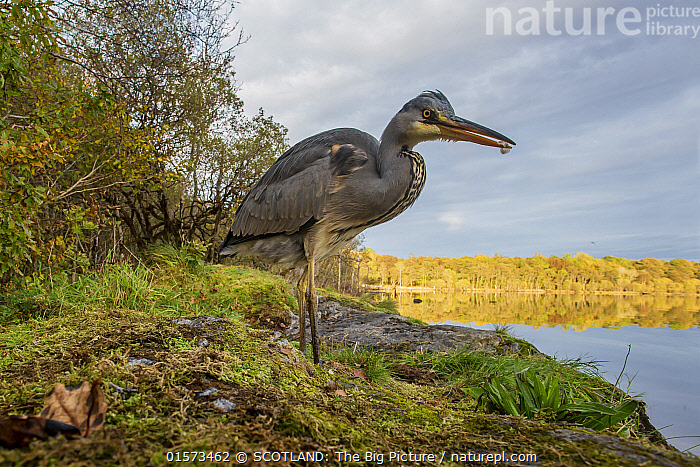 Grey heron (Ardea cinerea) hunting for food at edge of loch, Scotland, UK, October.  ,  Animal,Wildlife,Vertebrate,Bird,Birds,Typical heron,Grey heron,Animalia,Animal,Wildlife,Vertebrate,Aves,Bird,Birds,Pelecaniformes,Ardeidae,Ardea,Typical heron,Heron,Ardeinae,Ardea cinerea,Grey heron,Standing,Europe,Western Europe,UK,Great Britain,Scotland,Profile,Side View,Plant,Mosses,Moss,Reflection,Woodland,Freshwater,Lake,Water,Forest,Loch,SCOTLAND: The Big Picture,Bank,Phillip Price,  ,  SCOTLAND: The Big Picture