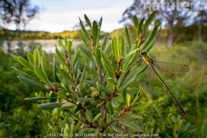 Emerald damselfly (Lestes sponsa) female on Bog myrtle (Myrica gale) in area of Scottish Beaver Trial, Knapdale, Scotland, UK, August.  ,  Plant,Vascular plant,Flowering plant,Rosid,Sweetgale,Animal,Wildlife,Arthropod,Insect,Pterygota,Spreadwing,Emerald damselfly,Plantae,Plant,Tracheophyta,Vascular plant,Magnoliopsida,Flowering plant,Angiosperm,Seed plant,Spermatophyte,Spermatophytina,Angiospermae,Fagales,Rosid,Dicot,Dicotyledon,Rosanae,Myricaceae,Myrica,Myrica gale,Sweetgale,Sweet gale,Bog myrtle,Gale palustris,Myrica palustris,Angeia palustris,Animalia,Animal,Wildlife,Hexapoda,Arthropod,Invertebrate,Hexapod,Arthropoda,Insecta,Insect,Odonata,Pterygota,Lestidae,Spreadwing,Spreadwing damselfly,Damselfly,Zygoptera,Lestes,Lestes sponsa,Emerald damselfly,Common spreadwing,Agrion sponsa,Lestes autumnalis,Lestes nymphaeides,Resting,Rest,Europe,Western Europe,UK,Great Britain,Scotland,Side View,Restoration,Freshwater,Lake,Water,Conservation,Rewilding,Loch,SCOTLAND: The Big Picture,Phillip Price,  ,  SCOTLAND: The Big Picture