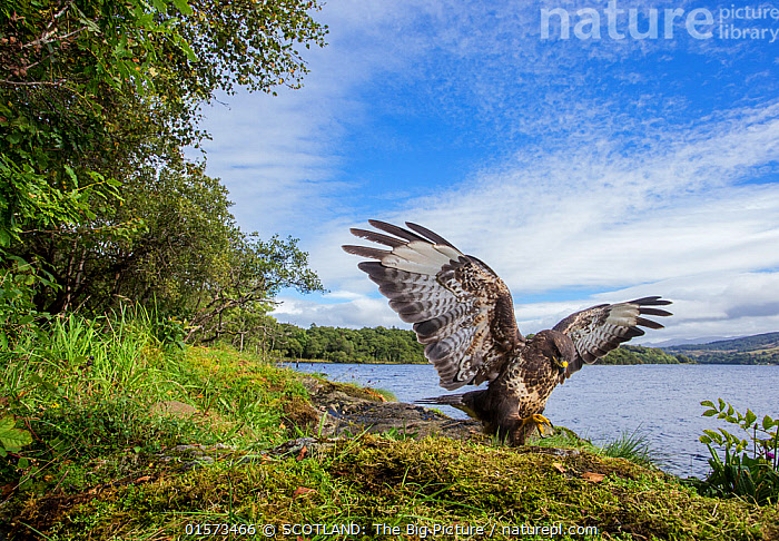 Common buzzard (Buteo buteo) landing on prey, wings open, Scotland, UK, September 2016.  ,  catalogue10,,Animal,Wildlife,Vertebrate,Bird,Birds,Buzzard,Common buzzard,Animalia,Animal,Wildlife,Vertebrate,Aves,Bird,Birds,Accipitriformes,Accipitridae,Buteo,Buzzard,Hawk,Bird of prey,Raptor,Buteo buteo,Common buzzard,Eurasian buzzard,Flying,Landing,Europe,Western Europe,UK,Great Britain,Scotland,Copy Space,Front View,Wing,Landscape,Woodland,Freshwater,Lake,Water,Forest,Wings spread,Wingspan,Negative space,Loch,SCOTLAND: The Big Picture,Phillip Price,  ,  SCOTLAND: The Big Picture