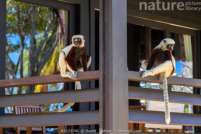Coquerel's sifaka (Propithecus coquereli), two sitting on terrace of hotel room, Anjajavy Private Reserve, north west Madagascar, September 2016.  ,  Animal,Wildlife,Vertebrate,Mammal,Sifaka,Coquerel's Sifaka,Animalia,Animal,Wildlife,Vertebrate,Mammalia,Mammal,Primate,Primates,Indriidae,Prosimians,Propithecus,Sifaka,Propithecus coquereli,Coquerel's Sifaka,Propithecus damonis,Sitting,Two,Africa,Madagascar,Malagasy Republic,Republic of Madagascar,Side View,Plant,Tree,Boundary,Fence,Building,Hotel,Accommodation,Hotels,Terrace,Terraces,Terracing,Window,Reflection,Reserve,Biodiversity hotspots,Biodiversity hotspot,Protected area,Two animals,Private Reserve,  ,  David  Pattyn