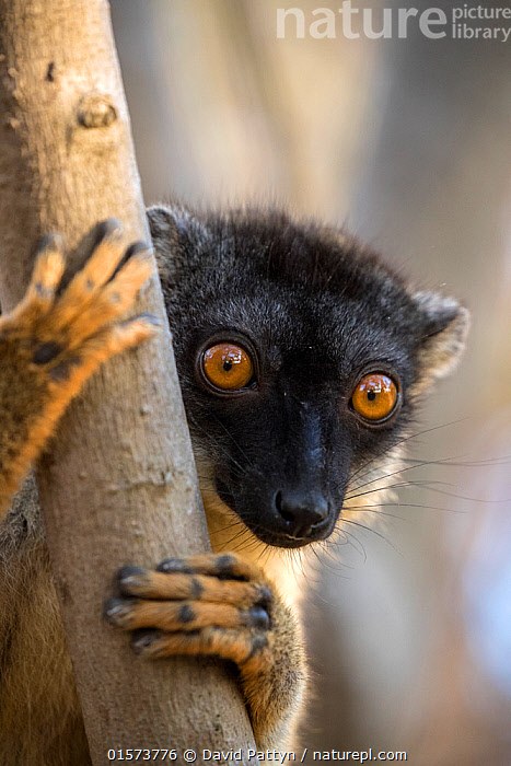 Common brown lemur (Eulemur fulvus) portrait, Anjajavy Private Reserve, north west Madagascar., Animal,Wildlife,Vertebrate,Mammal,Lemur,True lemurs,Brown Lemur,Animalia,Animal,Wildlife,Vertebrate,Mammalia,Mammal,Primate,Primates,Lemuridae,Lemur,Prosimians,Eulemur,True lemurs,brown lemurs,Eulemur fulvus,Brown Lemur,Common Brown Lemur,Eulemur bruneus,Eulemur mayottensis,Grasping,Clasping,Clutching,Grasp,Africa,Madagascar,Malagasy Republic,Republic of Madagascar,Vertical,Front View,Portrait,Plant,Tree Trunk,Animal Eye,Eyes,Reserve,Biodiversity hotspots,Biodiversity hotspot,Protected area,Direct Gaze,Private Reserve,Trunk,, David  Pattyn