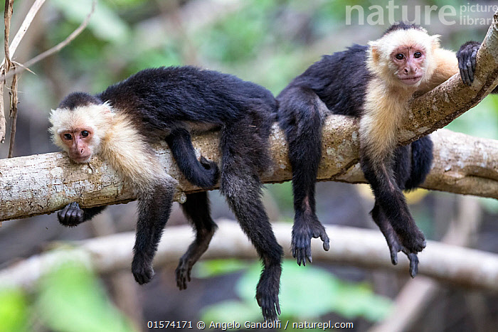 Nature Picture Library - White fronted capuchin monkeys