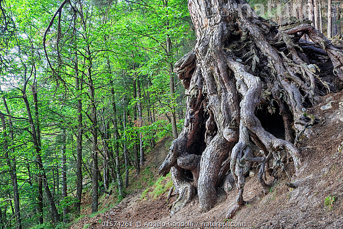 Austrian pine (Pinus nigra calabrica) tree with exposed gnarled roots, Sila National Park,  Calabria, Italy. June., Europe,Southern Europe,Italy,Calabria,Plant,Tree,Woodland,Reserve,Forest,Protected area,UNESCO World Heritage Site,National Park,, Angelo Gandolfi
