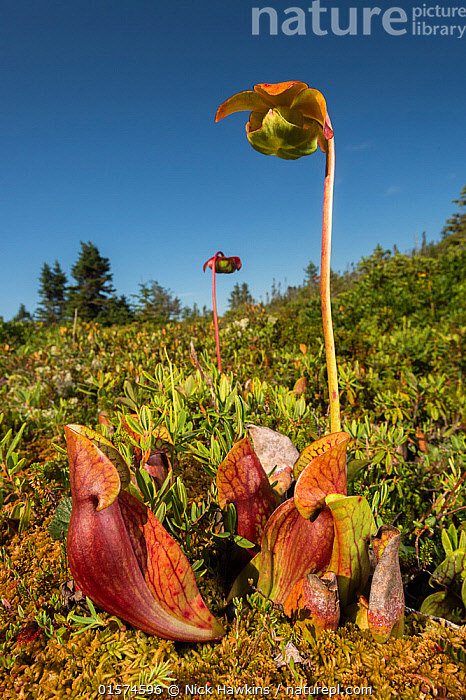 Nature Picture Library - Northern pitcher plant (Sarracenia