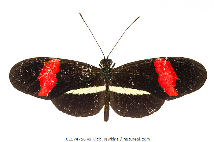 Small postman butterfly (Heliconius erato) photographed on white background, Costa Rica.  ,  Animal,Wildlife,Arthropod,Insect,Brushfooted butterfly,Longwing,Red postman,Animalia,Animal,Wildlife,Hexapoda,Arthropod,Invertebrate,Hexapod,Arthropoda,Insecta,Insect,Lepidoptera,Lepidopterans,Nymphalidae,Brushfooted butterfly,Fourfooted butterfly,Nymphalid,Butterfly,Papilionoidea,Heliconius,Longwing,Heliconian,Passion vine butterfly,Heliconiini,Heliconninae,Heliconius erato,Red postman,Red passionflower butterfly,Crimson patched,Crimson patched longwing,Erato heliconian,Small postman,Papilio erato,Latin America,Central America,Costa Rica,Cutout,Plain Background,White Background,Biodiversity hotspot,  ,  Nick Hawkins