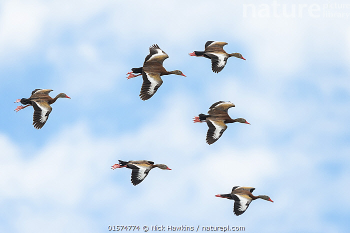 Black-bellied whistling ducks (Dendrocygna autumnalis) flock in flight, Palo Verde National Park, Costa Rica.  ,  Animal,Wildlife,Vertebrate,Bird,Birds,Water fowl,Waterfowl,Whistling duck,Black bellied whistling duck,Animalia,Animal,Wildlife,Vertebrate,Aves,Bird,Birds,Anseriformes,Water fowl,Galloanserans,Waterfowl,Anatidae,Dendrocygna,Whistling duck,Tree duck,Dendrocygna autumnalis,Black bellied whistling duck,Black bellied tree duck,Red billed tree duck,Red billed Whistling duck,Flying,Group Of Animals,Flock,Group,Latin America,Central America,Costa Rica,Biodiversity hotspot,Wildfowl  ,  Nick Hawkins