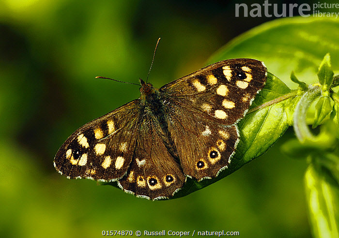 Speckled Wood Butterfly Pararge aegeria SET x PAIR British Butterfly 0JW