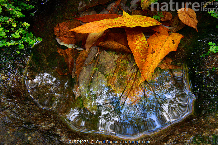 Trees reflected in small puddle,Yakushima Island UNESCO World Heritage Site, Japan.  ,  Asia,East Asia,Japan,Kyushu,Kyushu District,Kyushu Island,Kagoshima Prefecture,Water,Biodiversity hotspot,Protected area,UNESCO World Heritage Site,Yaku-shima,Puddle,  ,  Cyril Ruoso