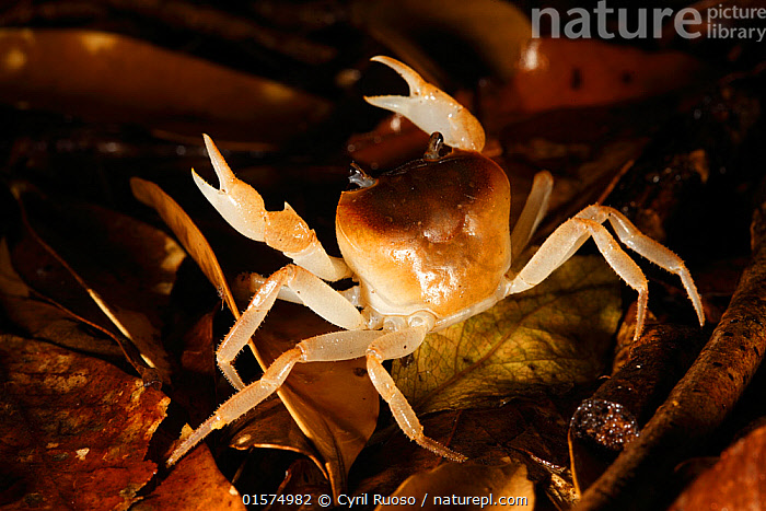 Crab in leaf litter, Yakushima Island, UNESCO World Heritage Site, Japan.  ,  catalogue10,,Animal,Wildlife,Crustacean,Decapod,Animalia,Animal,Wildlife,Crustracea,Crustacean,Malacostraca,Decapoda,Decapod,Crab,Crabs,Asia,East Asia,Japan,Kyushu,Kyushu District,Kyushu Island,Kagoshima Prefecture,Portrait,Forest,Arthropod,Arthropods,Biodiversity hotspot,Protected area,UNESCO World Heritage Site,Invertebrate,Leaf litter,Leaflitter,Yaku-shima,  ,  Cyril Ruoso